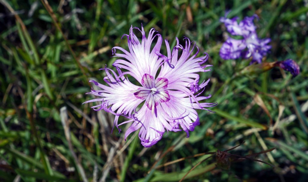 Fringed pink (Dianthus monspessulanus)