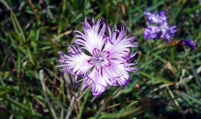 Fringed Pink wildflower