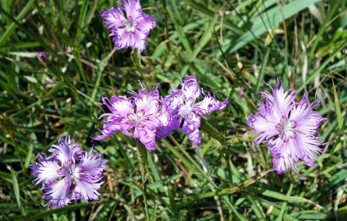 Fringed pinks (Dianthus monspessulanus)