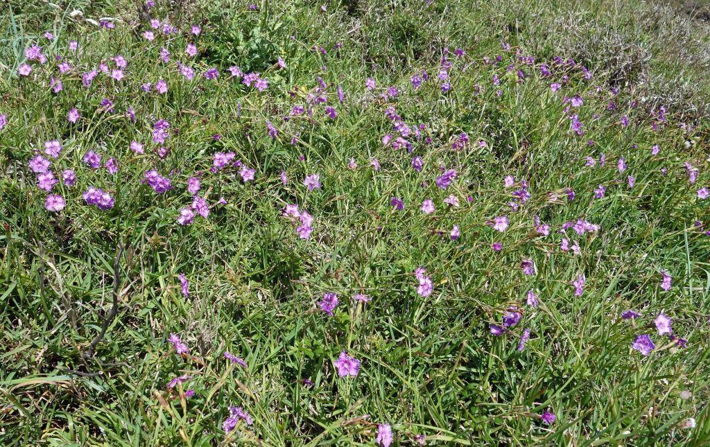 Fringed pinks (Dianthus monspessulanus)
