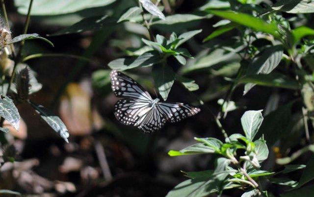 Glassy Tiger (Parantica aglea) in flight