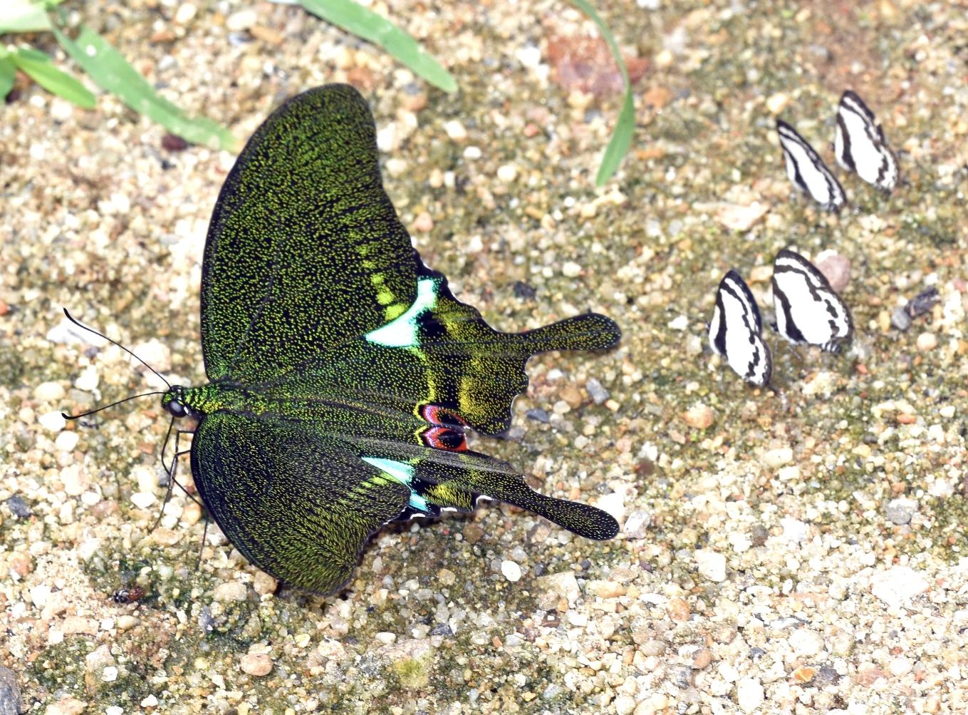 Paris Peacock (Papilio paris) Linnaeus, 1758