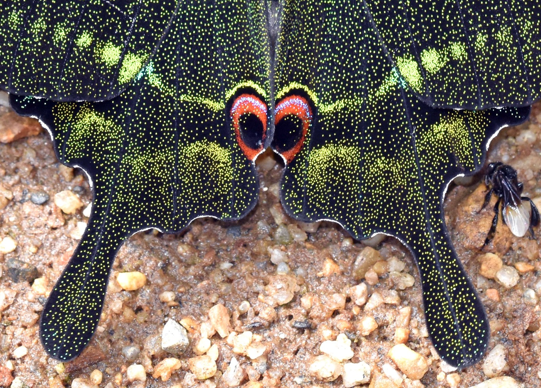 Paris Peacock(Papilio paris paris) detail