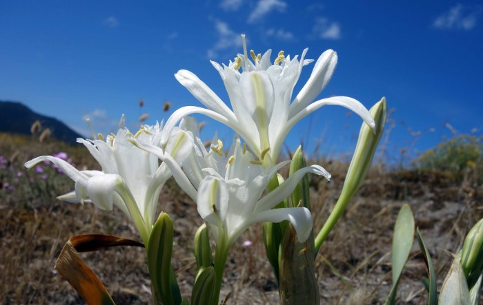Sea daffodill (Pancratium maritimum) with spider