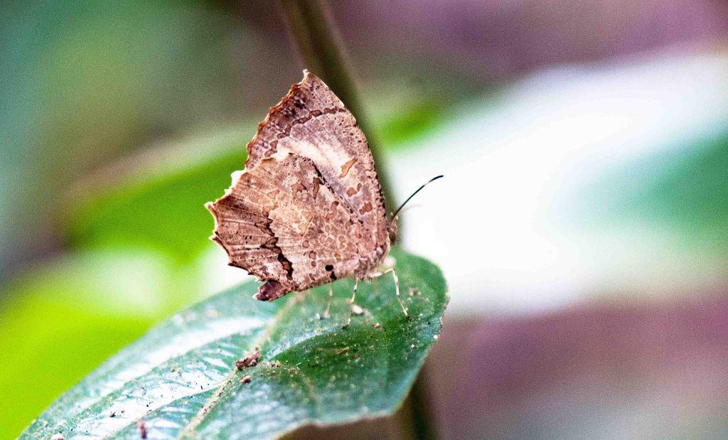 The Crenulate Darkie (Allotinus drumila apthonius)