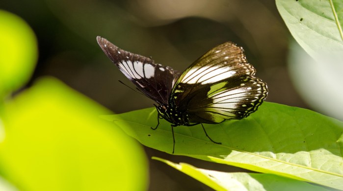 The Sulawesi endemic egg-fly, Hypolimnas diomea Hewitson, 1861