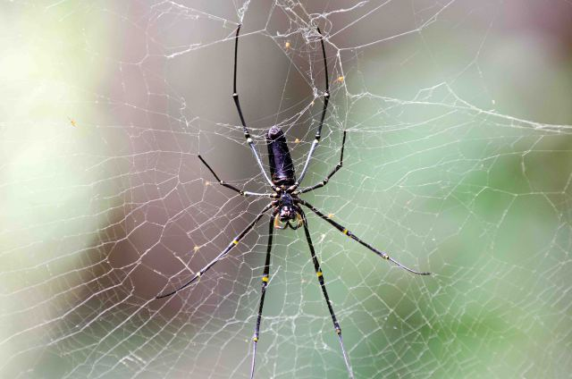 Large female Nephila spider from Sulawesi