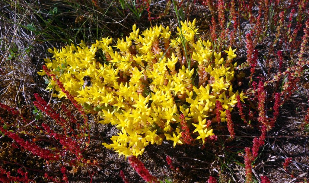 Biting stonecrop (Sedum acre)