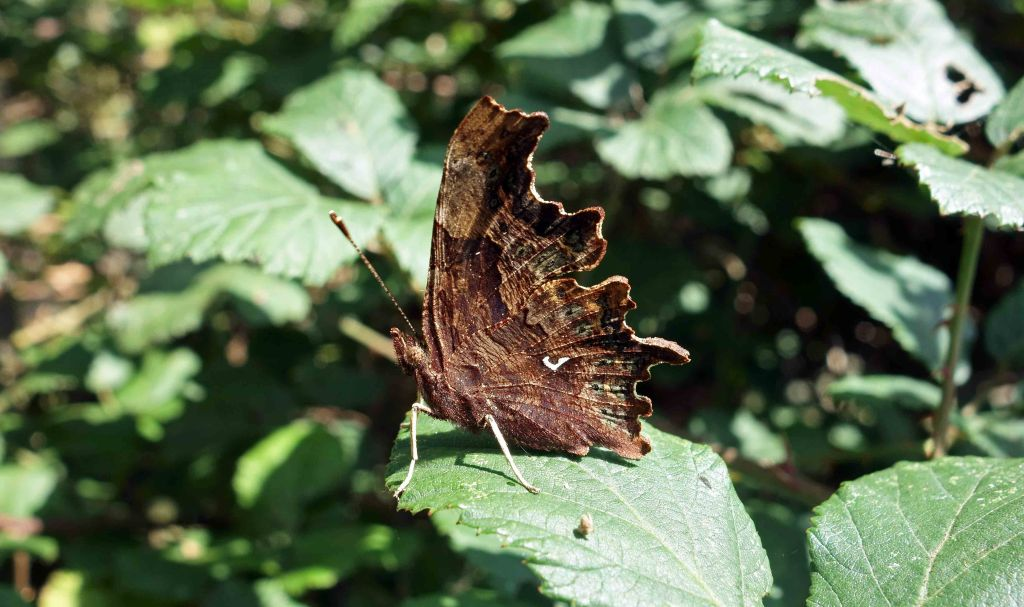 Comma (Polygonia c-album) male