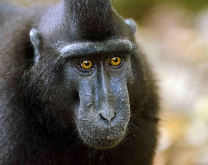 Black Crested Macaque (Macaca nigra)
