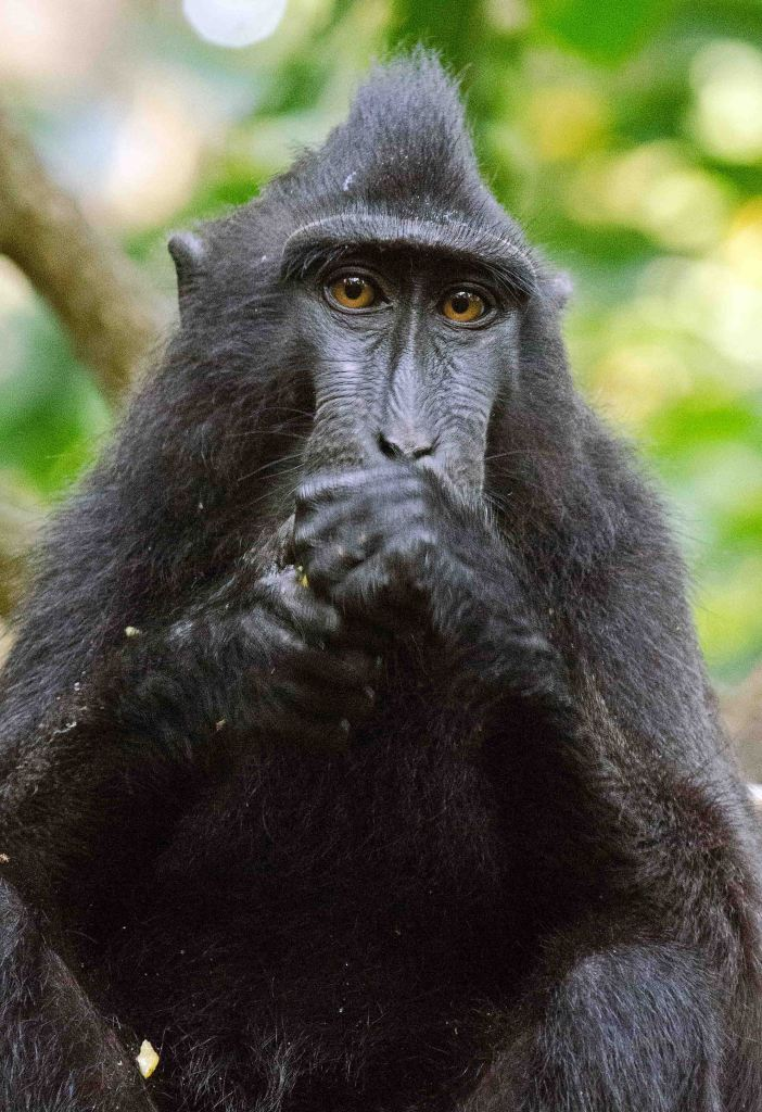 Crested black macaque eating a piece of fruit.