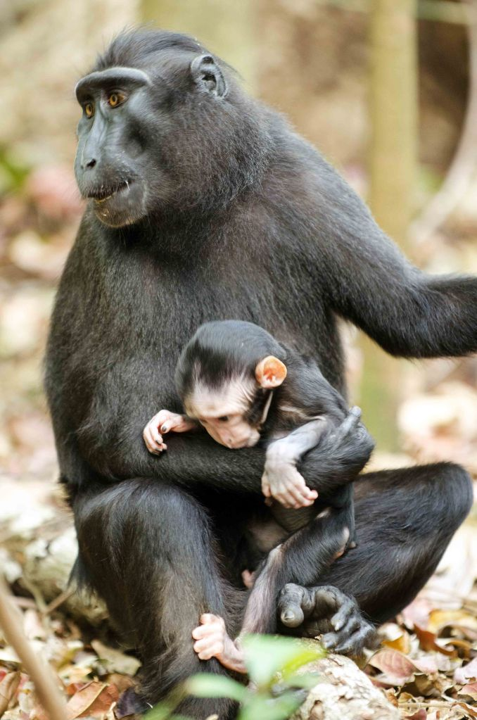 Crested black macaque mother and infant