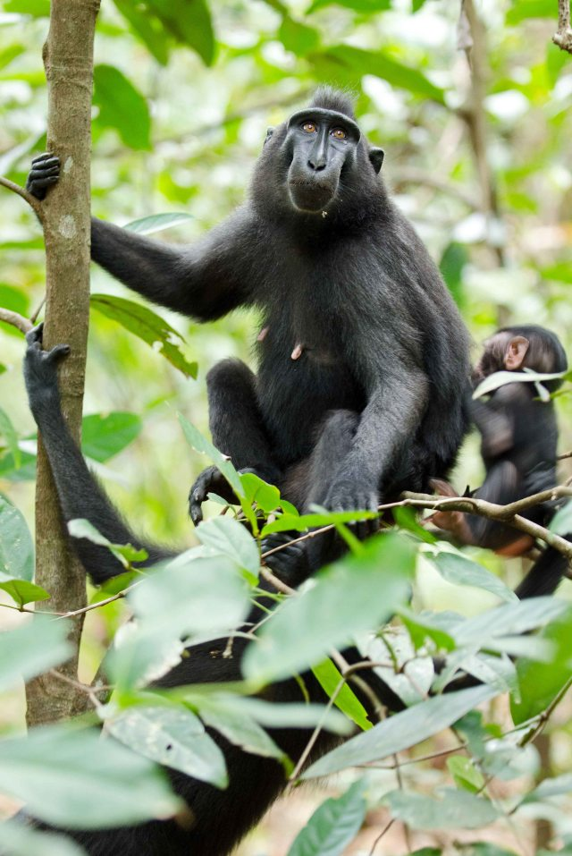 Crested-black macaque mother and infant