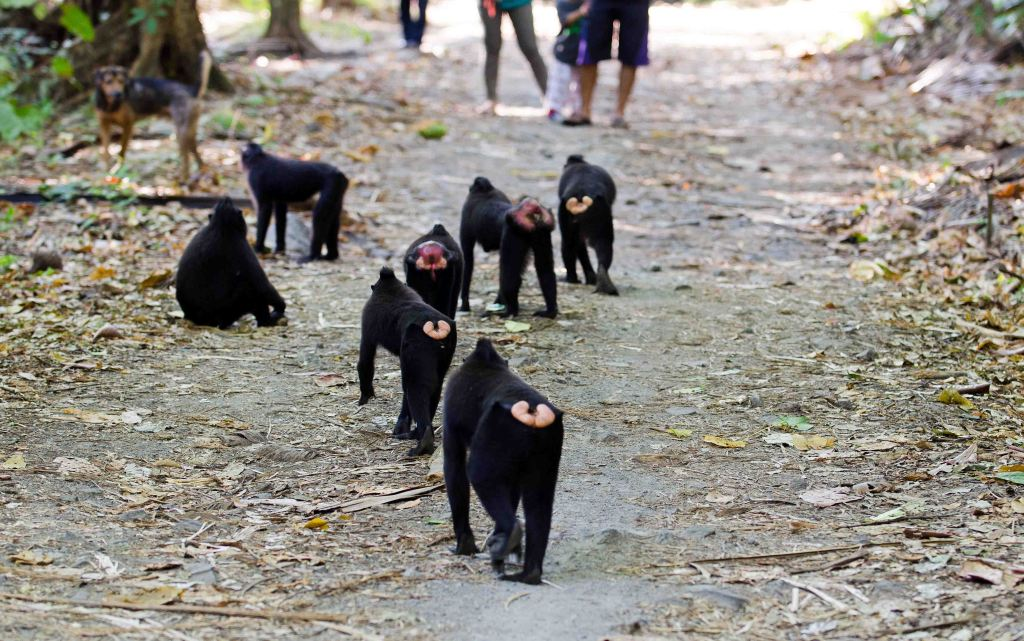 Crested-black macaques on the road through the park at Tangkoko NP.