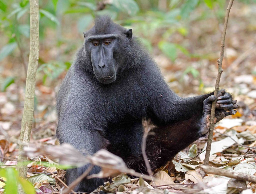 Dominant male Sulawesi crested black macaque, (Macaca nigra)