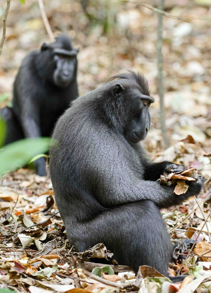Dominant male Crested black macaque examining some leaves