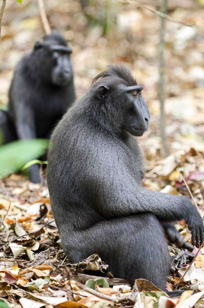 Dominant male crestedblack macaque
