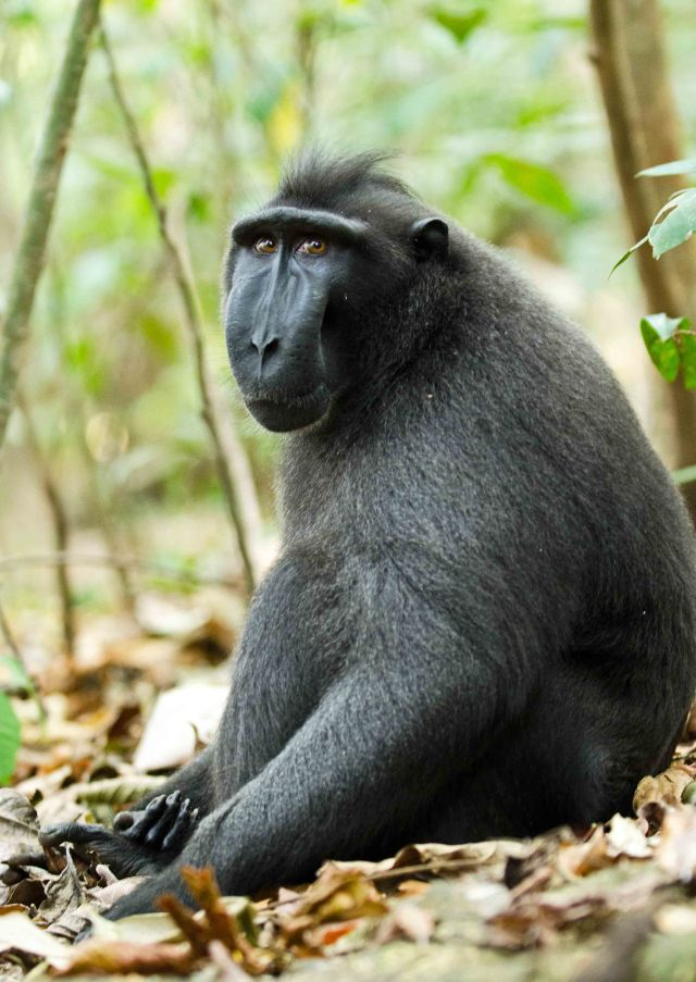 Dominant male crested black macaque