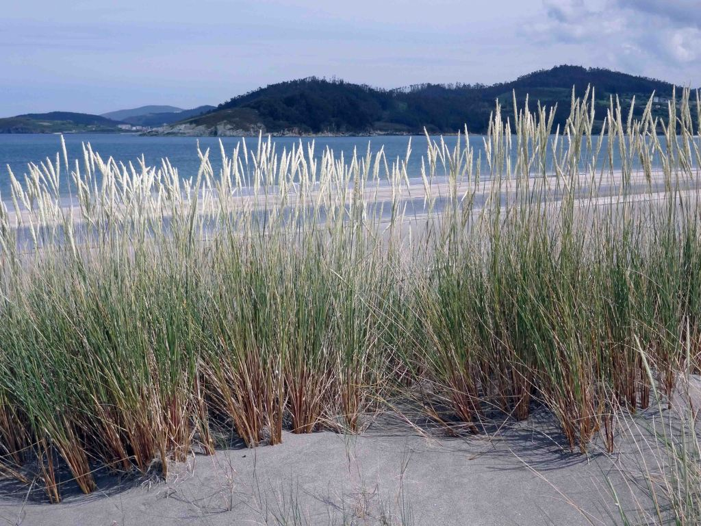 European Marram Grass (Ammophila arenaria) behind the Mazouros beach