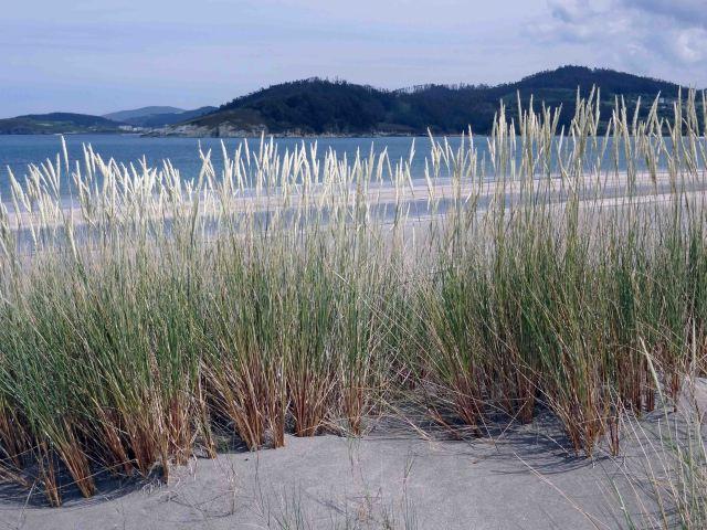 European Marram Grass (Ammophila arenaria) behind the Mazouros beach