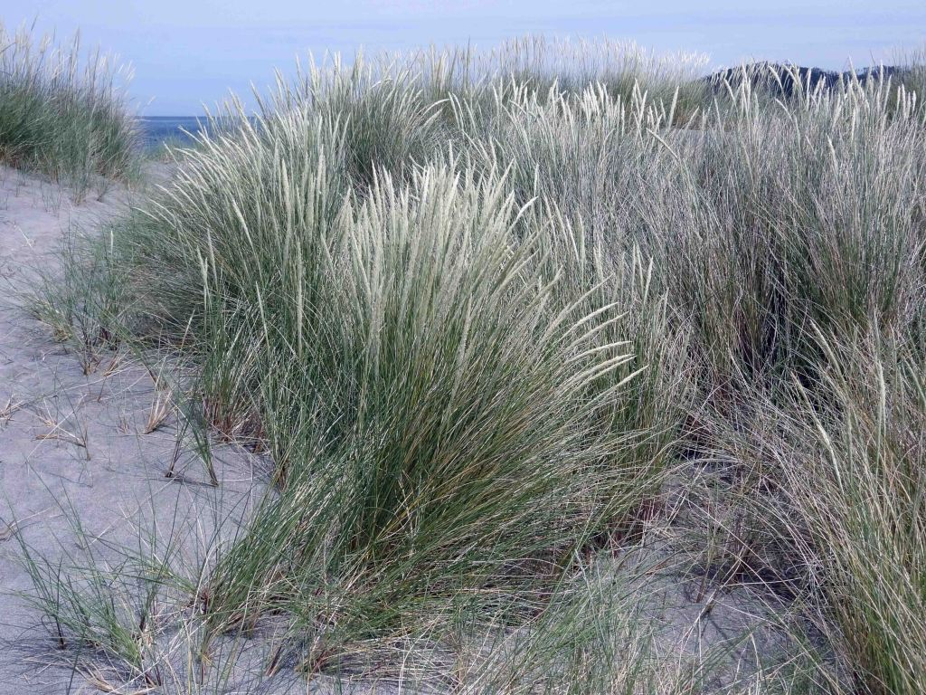 European Marram Grass (Ammophila arenaria) binding together the dunes behind Morouzos beach