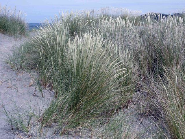 European Marram Grass (Ammophila arenaria) binding together the dunes behind Morouzos beach