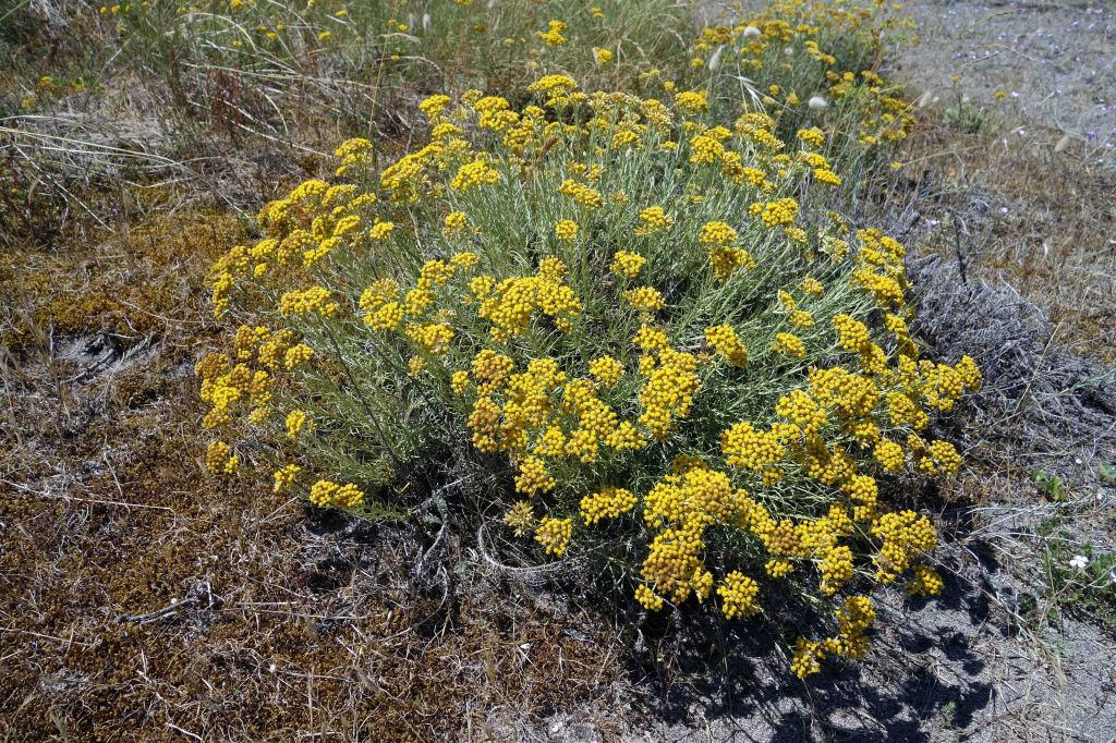 Helichrysum italicum spp serotinum flowering in July