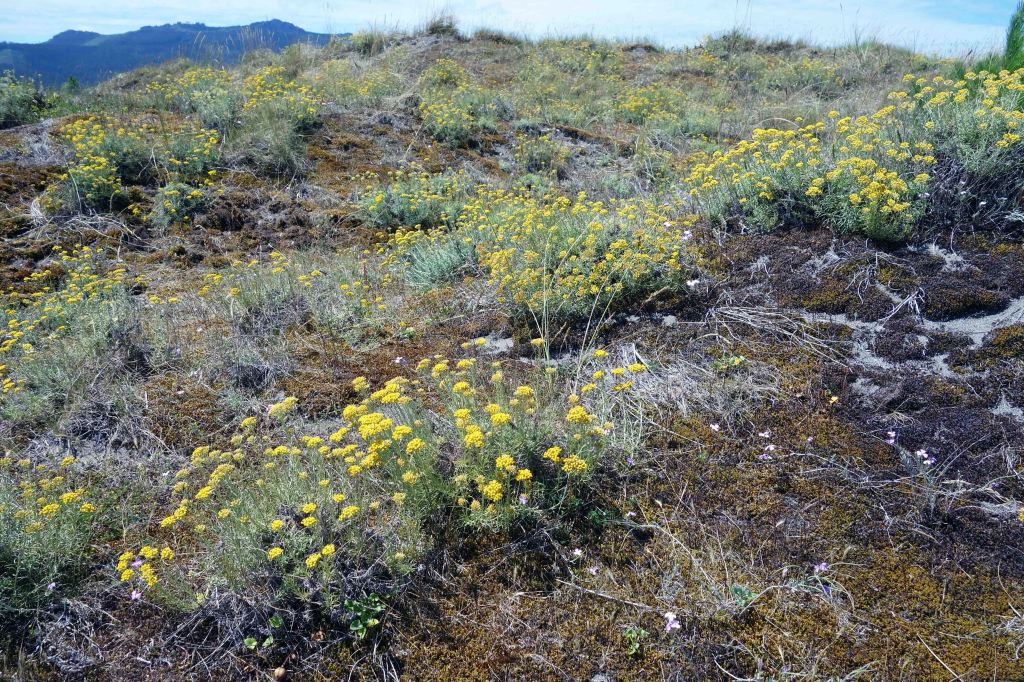 Helichrysum italicum spp serotinum on Mozouros dunes in July (note dryness of the vegetation)
