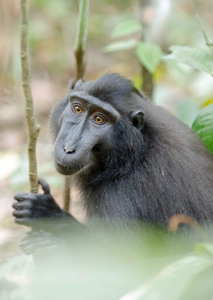 Crested-black macaque peering through the leaves in Tangkoko NP, Sulawesi