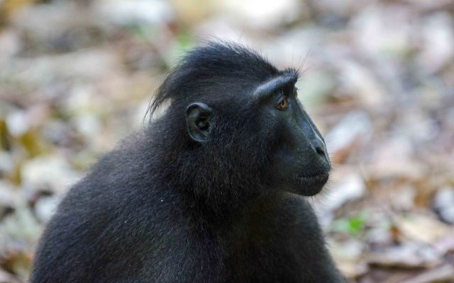 Juvenile crested-black macaque ((Macaca nigra) showing characteristic crest or quiff of hair.