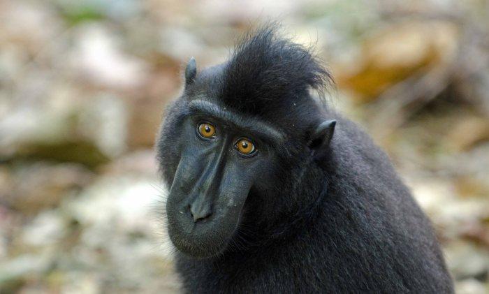 Juvenile crested black macaque