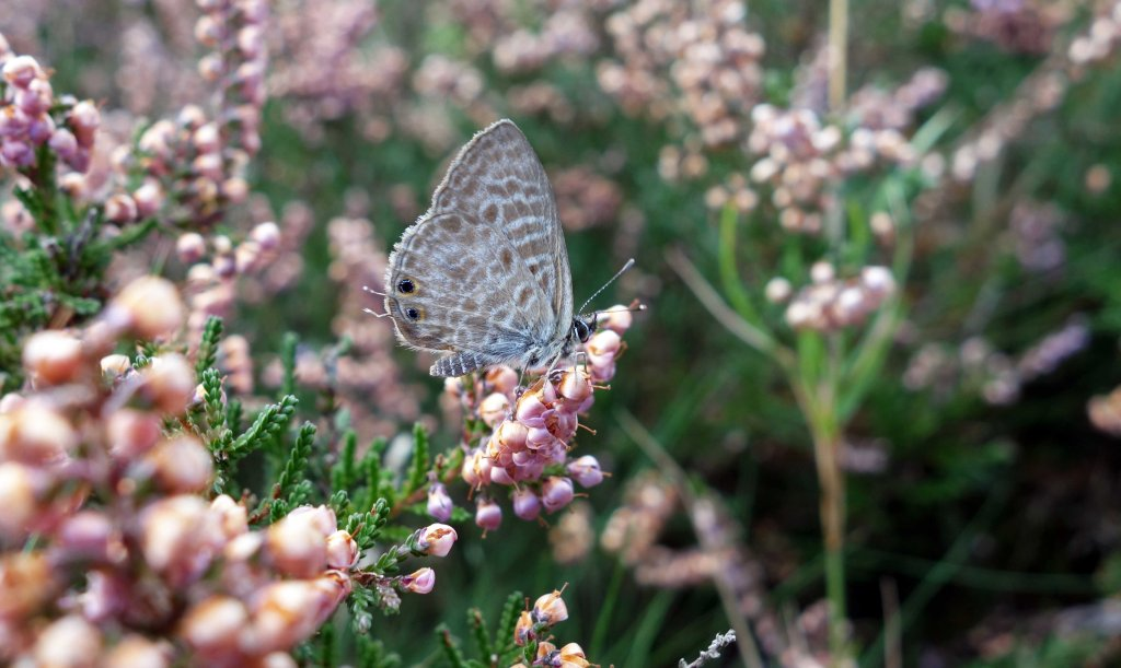 Lang's Short-tailed blue (Leptotes pirithous) male