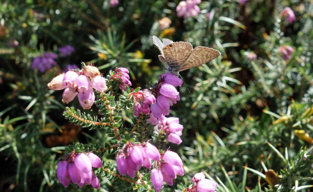 Lang's Short-tailed blue (Leptotes pirithous) on heather