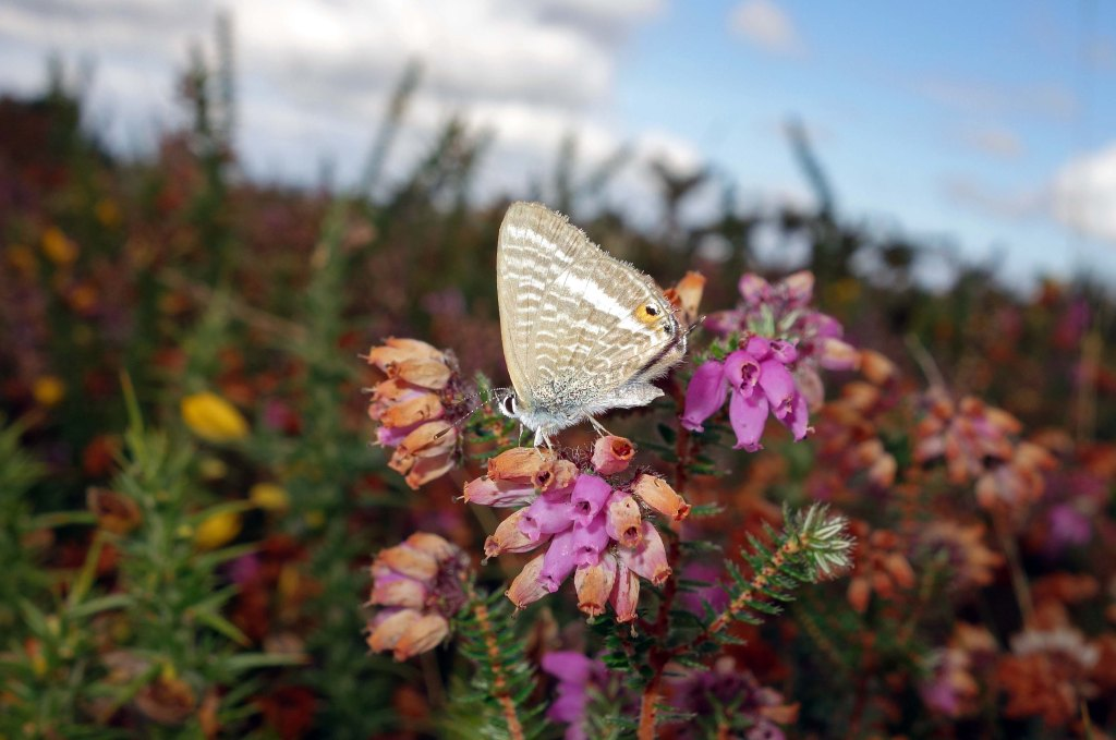 Long-tailed blue (Lampides boeticus) male on heather