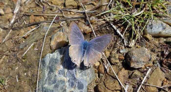 https://rcannon992.files.wordpress.com/2014/10/long-tailed-blue-upperside-male-2.jpg