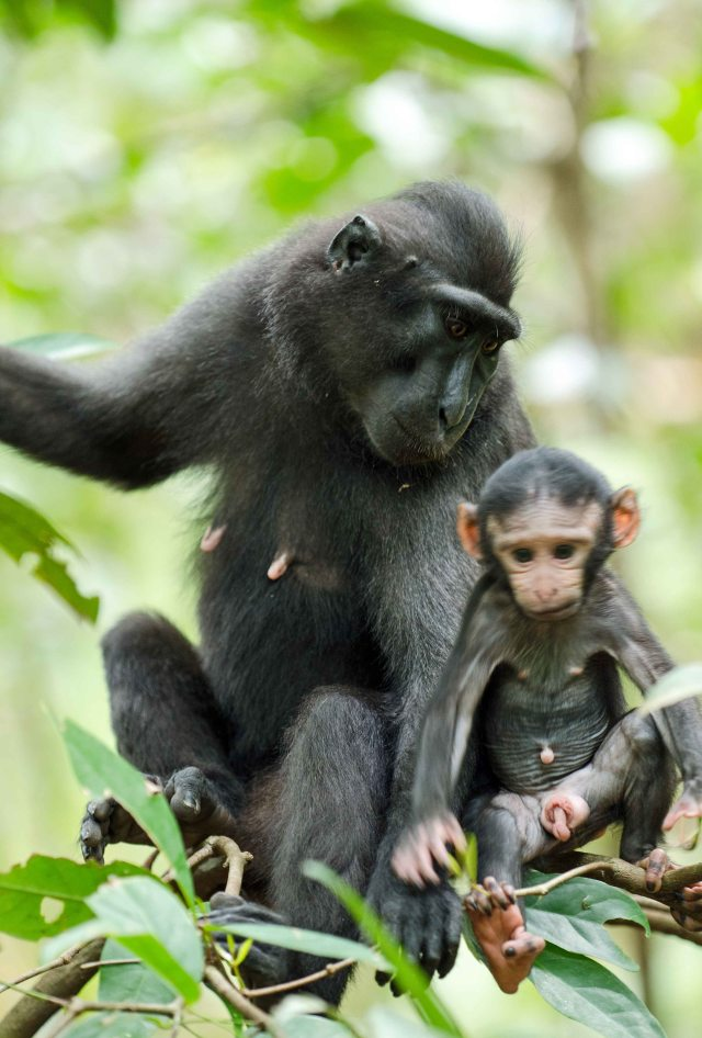 Mother with infant crested-black macaque