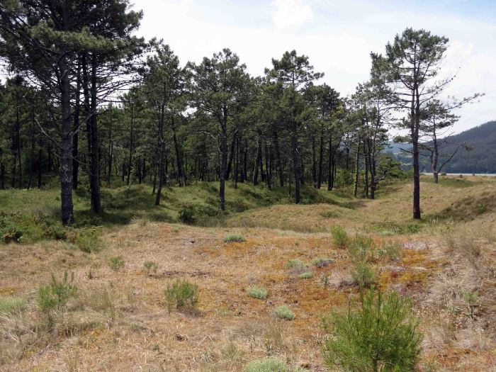 The dunes give way to a forest of pine trees behind the beach