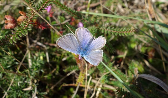 Small blue butterfly (Lycaenidae)