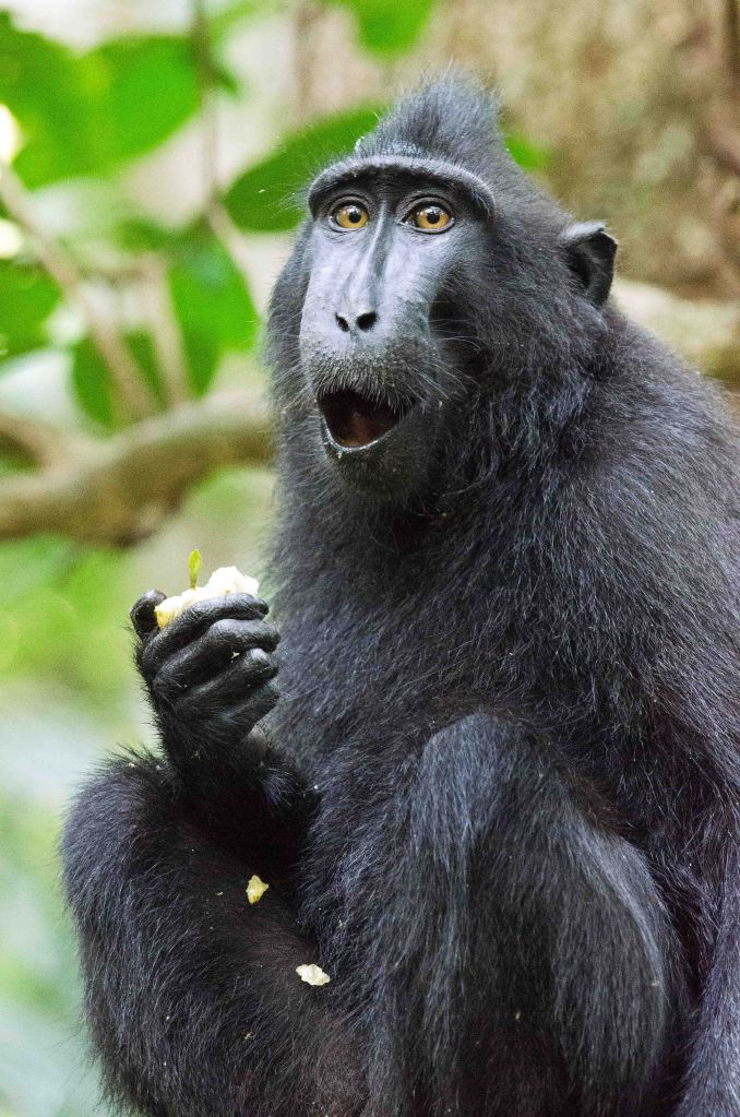 Look of surprise on  Surprised crested black macaque