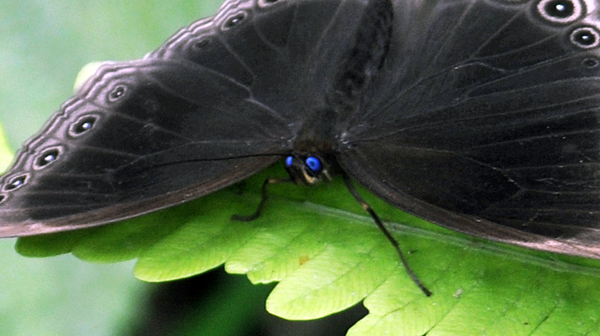 Blue eyes of Dusky Diadem, Ethope himachala