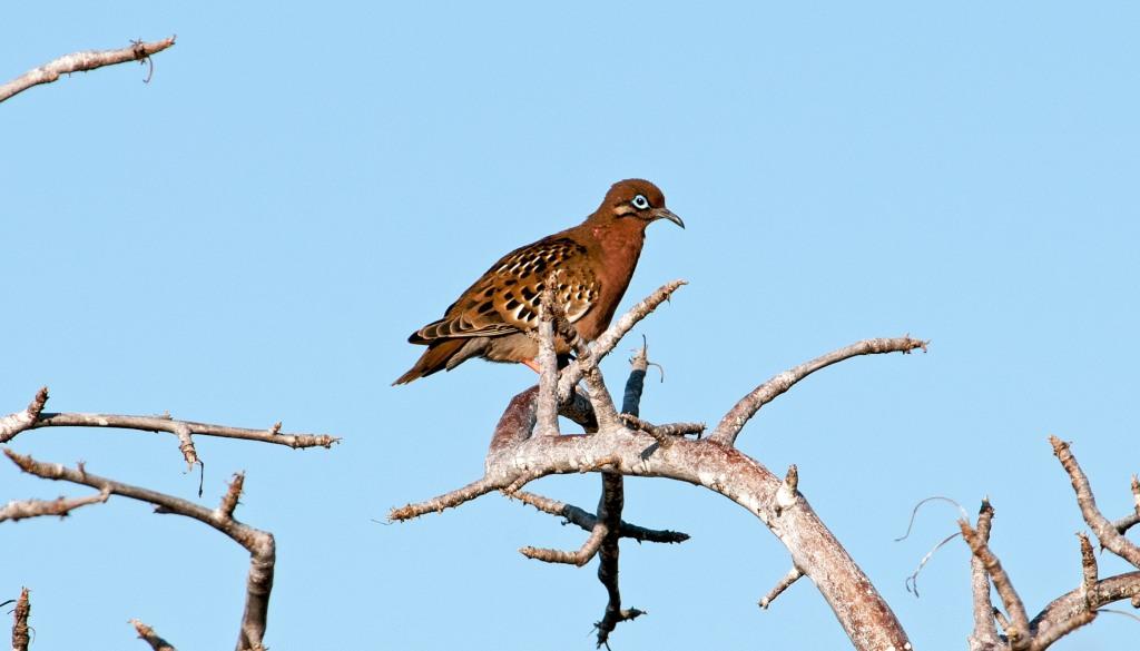 Galapagos Dove (Zenaida galapagoensis)