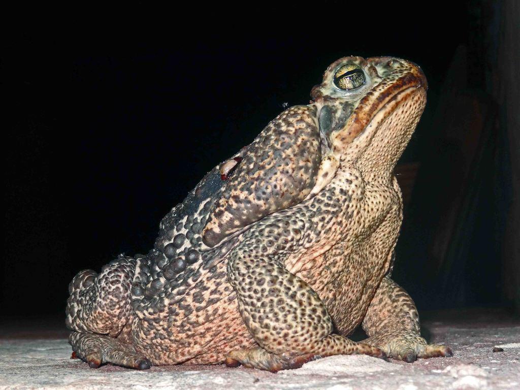 The Rococo toad, Rhinella schneideri, Argentina.
