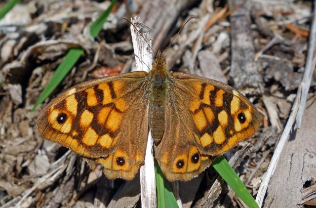 Speckled Wood (Parage aegeria aegeria) from Galicia, Spain on 17 June 2013.