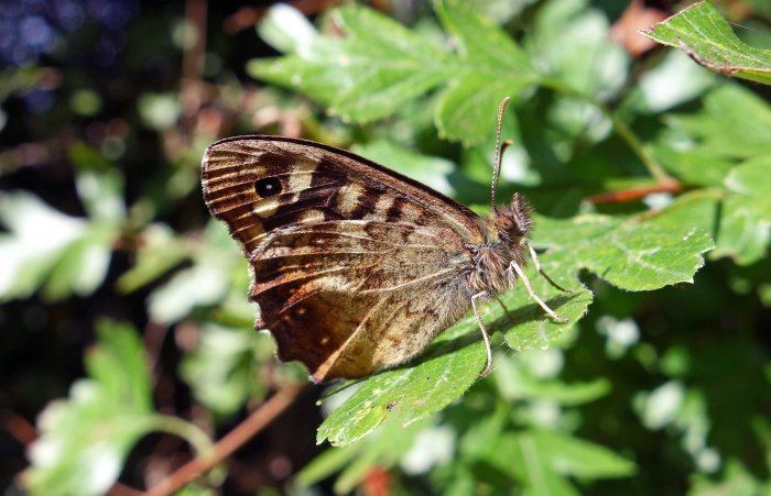 Speckled wood (Pararge aegeria ssp. tircis) uds; from Bedfordshire, Sept 2014