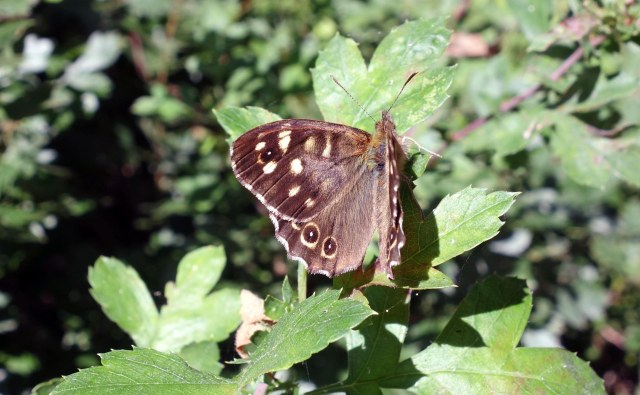 Speckled wood (Pararge aegeria ssp.  tircis) ups from Bedfordshire, Sept 2014