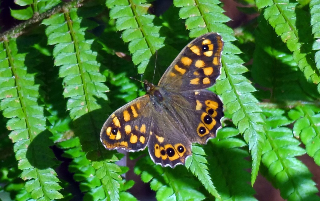 Speckled Wood (P. aegeriea aegeriea), in Galicia on 14 Feb 2012.