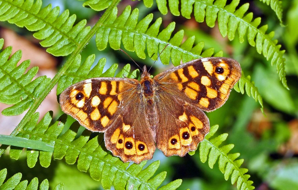Speckled Wood (P. aegeriea aegeria), taken in Galicia, Spain on 2 June 2011.