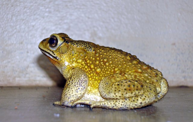 Asian common toad (Duttaphrynus melanostictus)