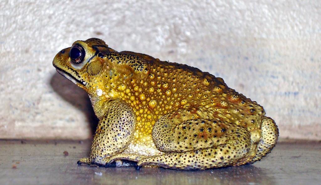 Asiatic Common Toad (Duttaphrynus melanostictus)