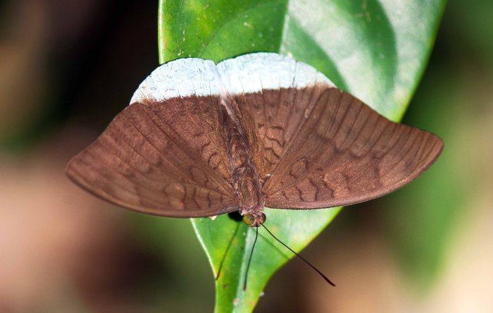 Common Earl (Tanaecia julii)